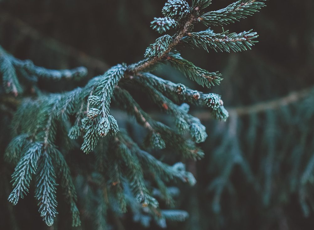 The Tree Center 4 Four Great Ways to Use Evergreens in Your Garden