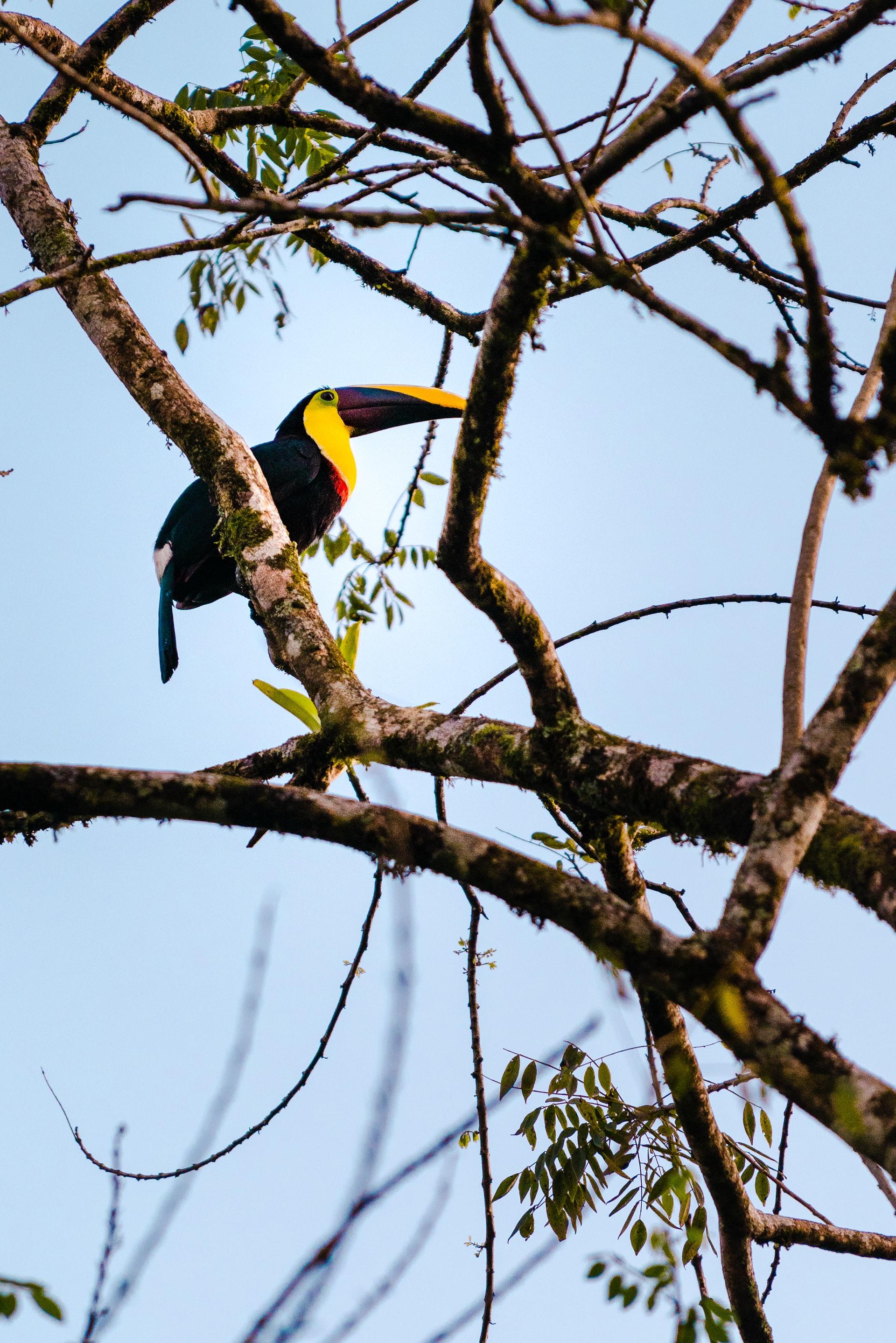 Toucan in a tree in costa rica
