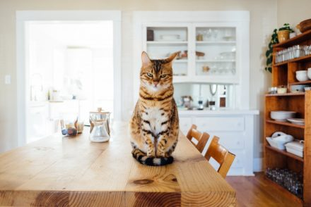 Bengal cat sitting on table