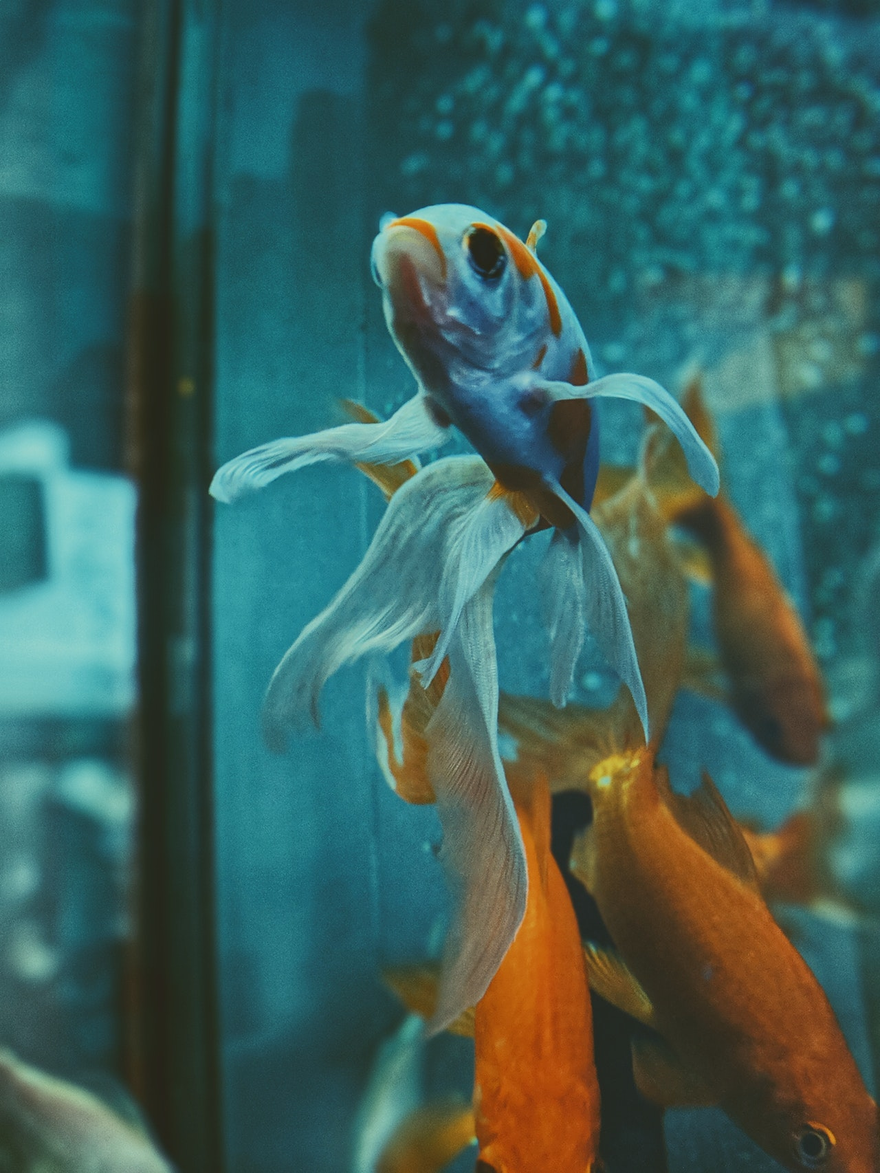 gold fish swimming in a fish tank