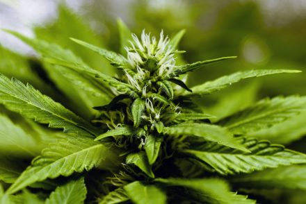 Bloom of marijuana flower