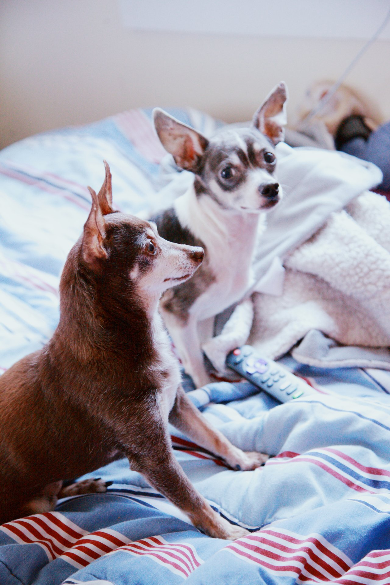 Chihuahua dogs on a bed