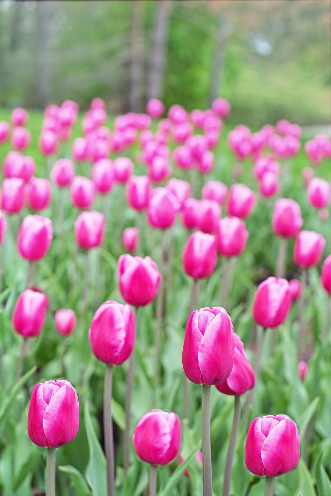 Pink tulips in a field.