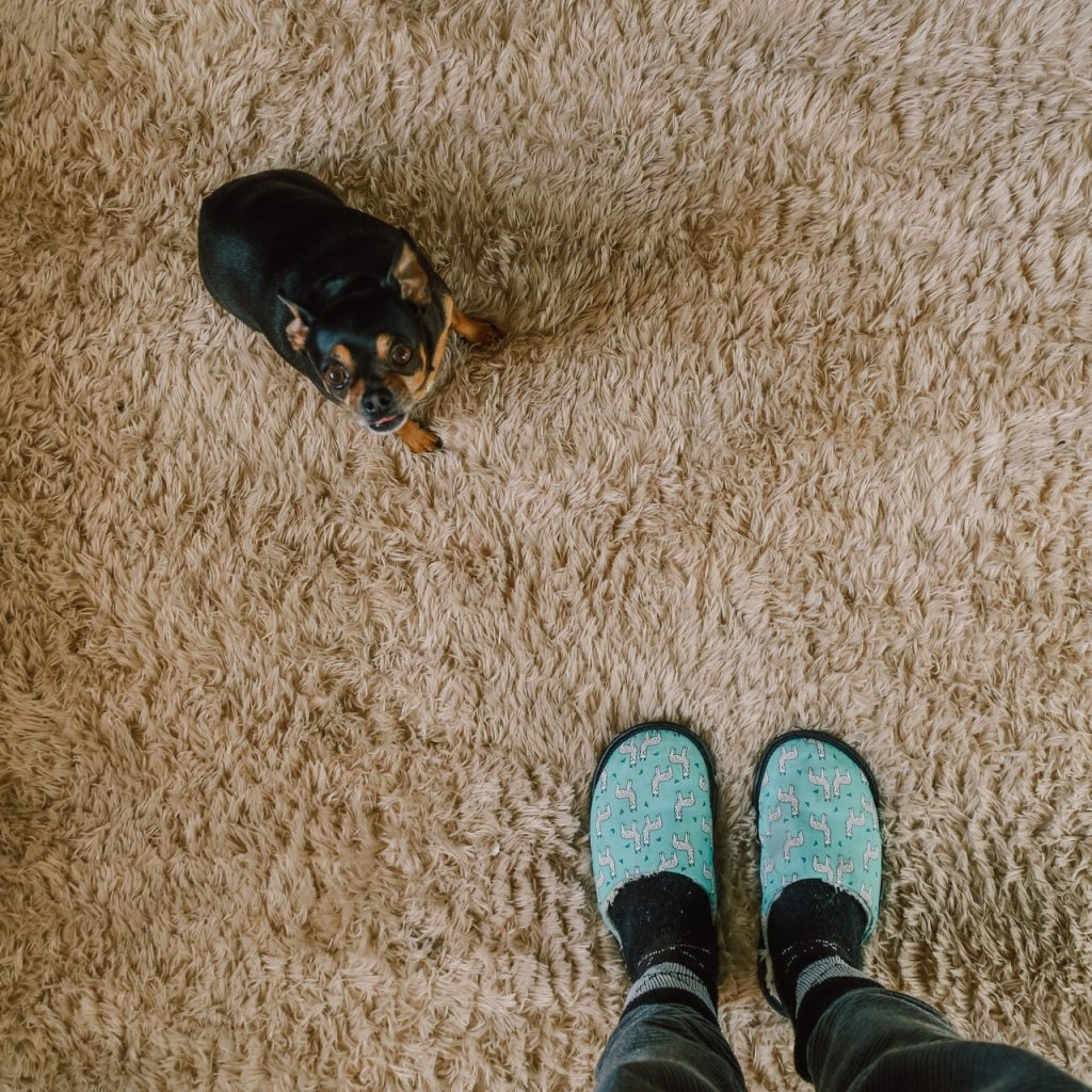 View of person's feet with slippers looking at a small dog that is sitting on a tan carpet.