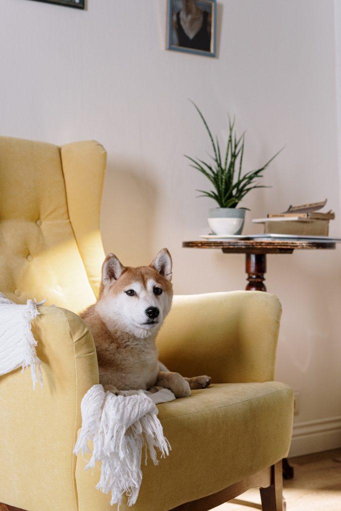 a Shiba Inu dog sitting on a yellow armchair.