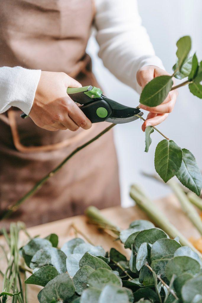 Person cutting a rose stem with scissors.